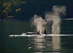Transient Orcas, Salt Spring Is., BC, 5/16/13