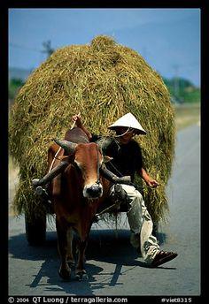 Cow Carriage, Mekong Delta, Vietnam