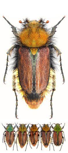 Pygopleurus diffusés - SCARABAEINAE - Glaphyridae