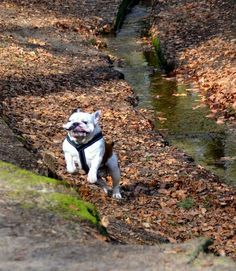 Action bully!  www.facebook.com/baggybulldogs