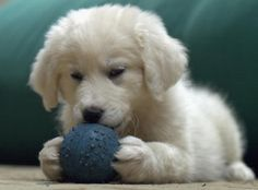 Angel the Great Pyrenees  Pictures 338366