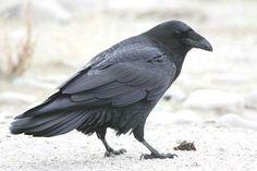 Google Image Result for http://www.utahbirds.org/birdsofutah/BirdsA-C/CommonRavenJB1.jpg