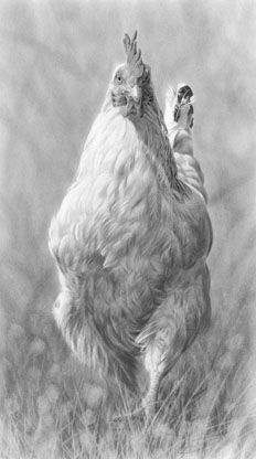 Strutting Sussex Hen pencil drawing by Nolon Stacey