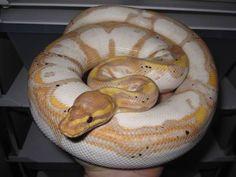 Banana calico ball python