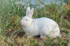 Lively and affectionate, Blanc De Bouscat rabbits enjoy playing and cuddling with their owners. Meat Rabbits, Large Rabbits, White Rabbits, Giant Rabbit, Rabbit Breeds, Gentle Giant, Albino, Livestock, Farm Life