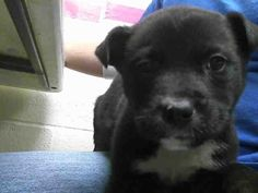 09/13/15-SCOTTY Labrador Retriever Mix • Young • Male • Small Montgomery County Animal Shelter Conroe, TX