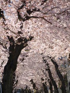 Sakura Kobe, Hyogo, Japan
