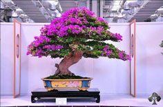 Purple flowers on Bonsai tree By: EkokBonsai See: www.bonsaiempire.com/bonsaioftheday #bonsai