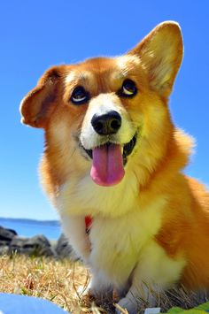 """Visit our web site for even more info on """"corgi pups"""". It is an outstanding place to get more information."""
