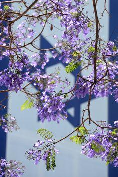 Jacaranda blossoms in front of Israel flag