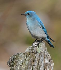 mountain bluebird ♥ by canonshooterman