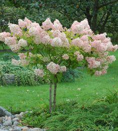 Rungollinen syyshortensia Fence Plants, Garden Plants, Kew Gardens, Outdoor Gardens, Backyard Plan, Flowering Trees, Front Yard Landscaping, Dream Garden, Beautiful Gardens