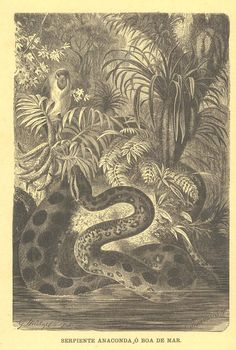 1883  Antique Science Illustration, Anaconda Snake Black and White Engraving
