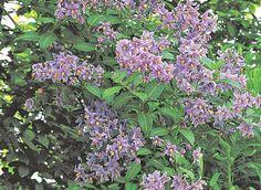 Solanum grimpant (Solanum laxum) - plus facile que l'on pensait.