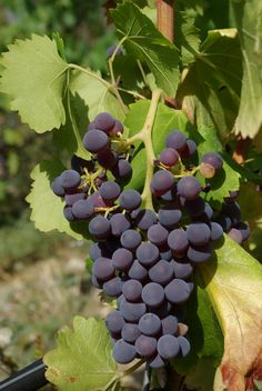 Grenache grapes originated in Spain but are most often associated with France's Rhône Valley where it is used to make Châteauneuf-du-Pape. It was one of the first wine grape varieties introduced to Australia. California's 'Rhone Rangers' are also producing this grape in the United States. Its aromas and flavors are spicy and suggestive of raspberries and often has floral notes. Grenache tends to lack acid, tannin and color, so it is most often used as a blending grape.