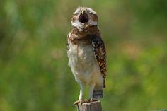 Foto coruja-buraqueira (Athene cunicularia) por Renerio Almeida | Wiki Aves - A Enciclopédia das Aves do Brasil
