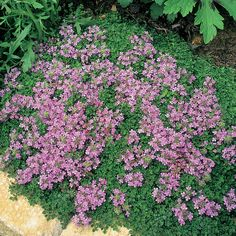 Here is a list of 21 best, attractive, trouble free and low maintenance shrubs that anyone can grow in their garden with minimal care. Herb Garden, Garden Plants, Garden Beds, Wooly Thyme, Thymus Serpyllum, Thyme Plant, Low Maintenance Shrubs, Creeping Thyme, Deer Resistant Plants