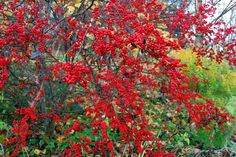 a showier winterberry holly: 'sunsplash' — A Way to Garden