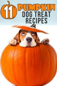 11 Healthy Pumpkin T  11 Healthy Pumpkin Treat Recipes for Dogs  #DogLoversHub Homemade Dog Cookies, Homemade Dog Food, Dog Biscuit Recipes, Dog Treat Recipes, Pumpkin Dog Treats, Dog Nutrition, Dog Diet, Can Dogs Eat, Dog Biscuits