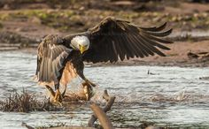 One of the most stunning entries to our American Bald Eagle Photography Contest to date. Photographer Ian Murray captured this image of a bald eagle snagging 4 fish at one time, on the Wallace River in Northern Nova Scotia.