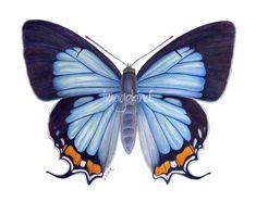 Common Imperial Blue Jalmenus evagoras 3 - 4 cm Australia Peacock Butterfly, Butterfly Images, Butterfly Kisses, Butterfly Wallpaper, Plastic Bottle Art, Bullet Art, Science Illustration, Art Terms, Custom Canvas