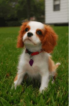 Dashalier - Cavalier King Charles Spaniel and Dachshund ...