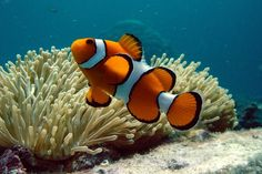 Clown fish over coral