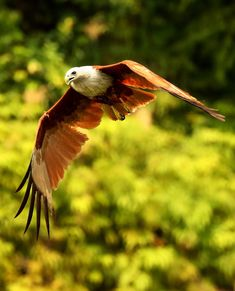 Picture of an eagle in flight.