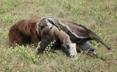 O tamanduá-bandeira recebeu seu nome devido ao seu grande rabo, que lembra uma bandeira. Quando vai dormir, o bicho o usa como um cobertor. O filhote é carregado nas costas da mãe, onde fica protegido dos predadores. A estação da seca, entre julho e setembro, é a melhor época para se observar mamíferos no Pantanal