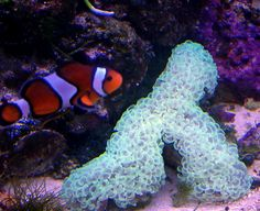 Google Image Result for http://saltwateraquariumblog.com/wp-content/uploads/2010/02/Hammer-Coral-and-Clownfish.gif