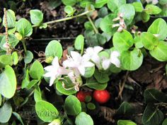 Partridgeberry  (Mitchella repens)  hardy evergreen woodland groundcover, white flowers in spring/summer with red berries in fall that hold through winter