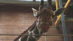 Quick links to share the petition: Voice outrage at Copenhagen Zoo for destroying Marius, perfectly healthy giraffe! | Yousign.org