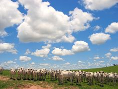 Cows & Clouds by joaobambu, via Flickr, cattle, Brazil