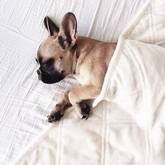 Sleeping French Bulldog Puppy, precious❤️