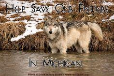 Michigan Gray Wolf