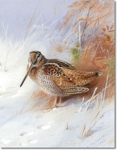 Thorburn, Archibald  - Archibald Thorburn - Woodcock in Winter 1920 Painting