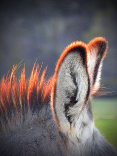 Donkey Ears....at sunset~.  I love to rub the fuzzy tips of my minis' ears on my closed eyes. They tolerate me very kindly!
