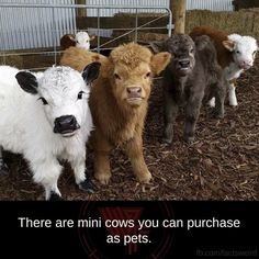 I will own a mini cow to go with my mini pet pig. :D