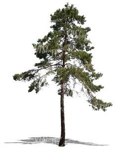 Trendy Ideas for pine tree plan png Landscape Elements, Landscape Architecture, Landscape Design, Tree Photoshop, Photoshop Images, Plant Images, Tree Images, Tree Plan Png, Tree Psd