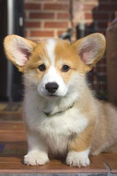 Discover Playfull Pembroke Welsh Corgi Dgas Exercise Needs corgi mix breeds Best Puppies, Best Dogs, Dogs And Puppies, Puppy Obedience Training, Basic Dog Training, Training Dogs, Corgi Facts, Positive Dog Training, Easiest Dogs To Train
