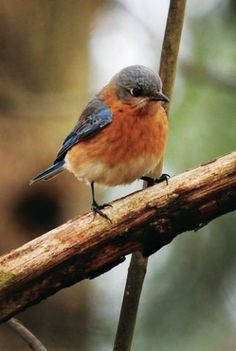 How To Attract Bluebirds. Recipe For Bluebird Pudding