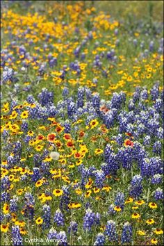 Texas Wildflowers. all because of Lady Bird Johnson. I love Texas in spring.