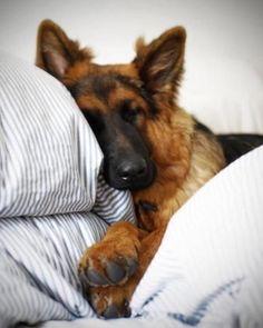 Lazy Sunday...#BigDawg #PepperAndTanky  #EveryDogShouldHaveOne  #VanillaWoof  #PeachesNCream  #PuppyLove  #DoggyPerfume  #DoggiePerfume  #PetCouture  #PamperedPuppy  #DogsOfInstagram  #CanineCouture  #SpoiledRotten  #PupsOfInstagram  #HautePet  #DogGrooming  #DogGroomers  #Dogs  #Dawgs  #LuxuryDogs  #DogBlogger  #MadeInFrance  #BeverlyHills