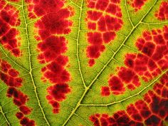 Google Image Result for http://www.esa.org/esablog/wp-content/uploads/2010/12/leaf-close-up-for-fractal-post.jpg