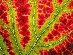 Vine leaf by Nickel Eisen.