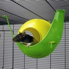 18 best hairless rats images hairless rat rodents cute rats rh pinterest com