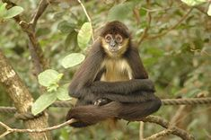 Spider Monkey Facts For Kids – All About Spider Monkeys Big Cat Species, Monkey Species, South America Animals, South American Rainforest, New World Monkey, Red Eyed Tree Frog, Rainforest Animals, African Grey Parrot, Animal Facts