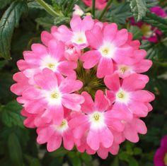 Verbena Wonderful Flowers, All Flowers, Beautiful Flowers, Verbena Plant, Agapanthus, Pink Moon, Perennials, Planting Flowers, Roots