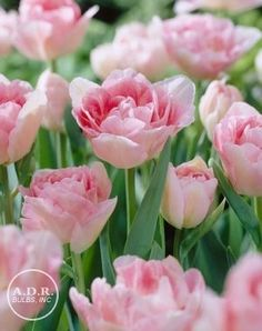 Tulipa double late 'Angelique' Tulip. Height: 16-18 inches. Spread: 2-4 inches. Bloom: late. 100 bulbs for $35.97.