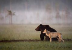 Photographer captures Unusual Friendship Between Wolf And Bear